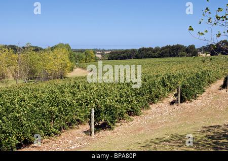 Vines Mad Fish Vineyard Margaret River Western Australia - Stock Photo