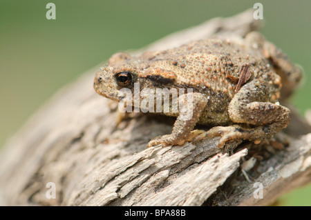Young common Toad (Bufo bufo), Spain - Stock Photo
