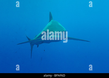 Silky shark swimming off Daedalus Reef, Red Sea, off coast of Egypt - Stock Photo