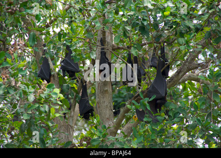 Black Flying Foxes (Pteropus alecto) resting upside-down by day at Wanji Falls, Litchfield National Park, Australia. - Stock Photo