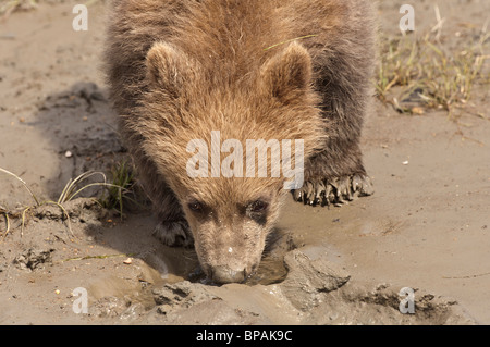 Stock photo of an Alaskan brown bear cub drinking from a small puddle of water, Lake Clark National Park, Alaska - Stock Photo