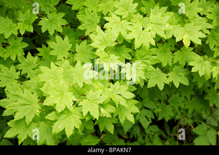 Vine maple leaves (Acer circinatum). Mount Rainier National Park, Washington - Stock Photo