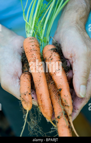 man holding organic carrots in hands - Stock Photo