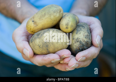 man holding potatoes in hands - Stock Photo