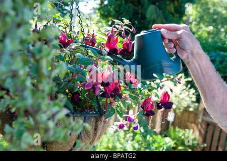 watering fuchsia plant in hanging flower basket - Stock Photo