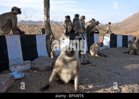 Gray langur monkeys on the roadside. Road Ajmer-Pushkar. India - Stock Photo
