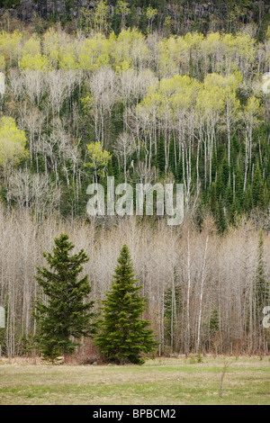 hymers, ontario, canada; two evergreen trees outside the edge of a forest with spring growth on a mountain side - Stock Photo