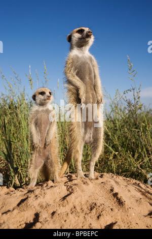 Meerkat with young, Suricatta suricata, Kalahari Meerkat Project, Van Zylsrus, Northern Cape, South Africa - Stock Photo