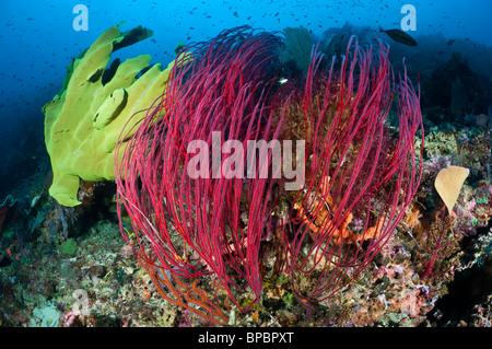 A colorful community of elephant ear sponges, sea whips and sea fans, Misool, West Papua, Indonesia. - Stock Photo