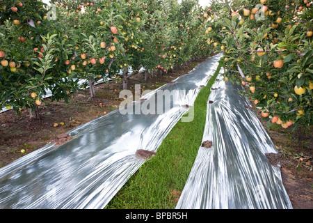 Apples  'Gala' orchard. - Stock Photo