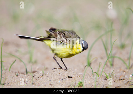 Yellow Wagtail; Motacilla flava; male - Stock Photo