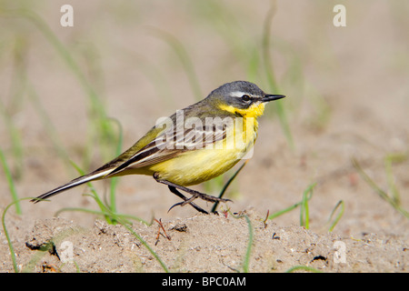 Yellow Wagtail; Motacilla flava;male - Stock Photo
