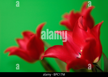 Beautiful red tulips still life Isolated flowers close-up on green background - Stock Photo