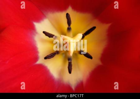Beautiful red tulip macro nature photography - Stock Photo
