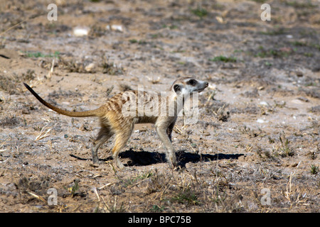 The meerkat or suricate (Suricata suricatta) is a small mammal and a member of the mongoose family. - Stock Photo
