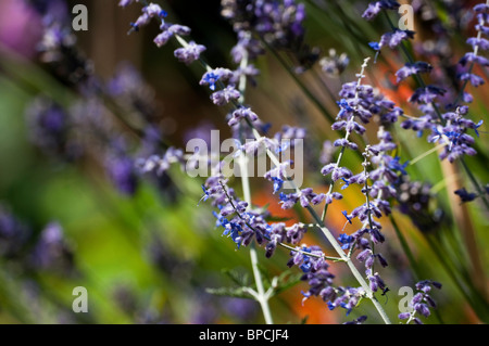 Perovskia atriplicifolia 'Blue Spire', Russian Sage in flower - Stock Photo