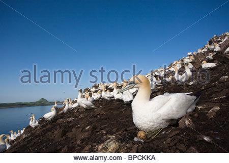 Gannet, Morus bassanus, on nest with egg, Bass Rock, Scotland - Stock Photo