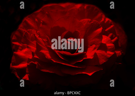 Close-up of red rose on black background. Narrow focus, bokeh (sdof). Horizontal - Stock Photo