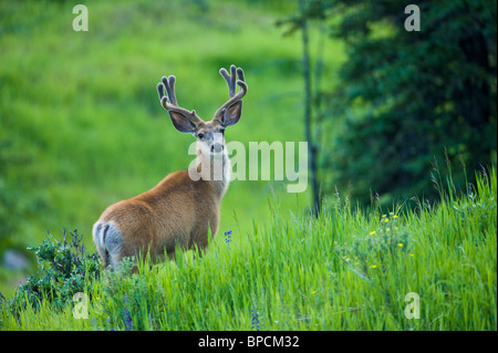 A mule deer buck in velvet - Stock Photo