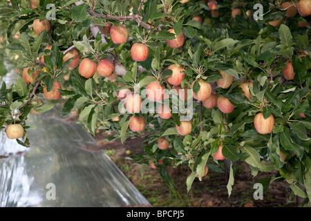 Apples 'Gala' branches. - Stock Photo