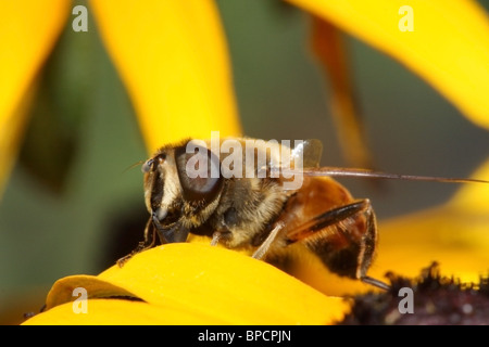 Hoverfly on yellow flower - Stock Photo