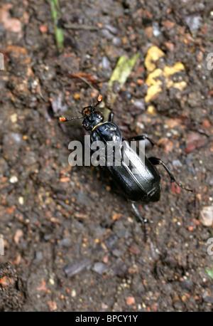 Burying Beetle or Sexton Beetle, Nicrophorus humator (or Necrophorus humator), Silphidae, Staphylinoidea, Scarabaeiformia - Stock Photo