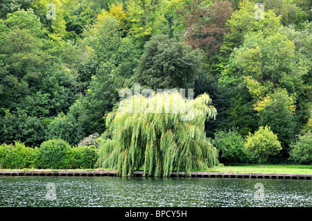 Single weeping willow tree on river bank - Stock Photo