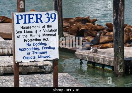 California Sea Lions, Zalophus californianus, at Pier 39, Fishermans Wharf, San Francisco, California, USA - Stock Photo