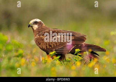 Western Marsh Harrier between the vegetation of the field in spring. - Stock Photo
