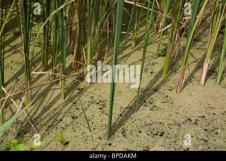 Reeds growing out of the heavy algae cover on the Chichester Ship Canal, Chichester West Sussex, England UK - Stock Photo