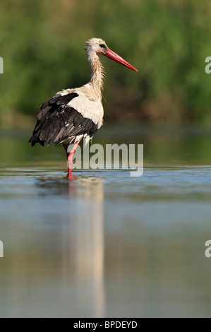 White stork (ciconia ciconia), young in the river. - Stock Photo