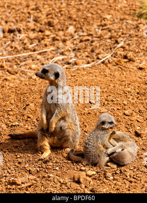 A Meerkat also known as the Suricate (Suricata suricatta) sitting on it's haunches whilst it's babies play nearby - Stock Photo