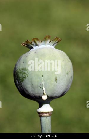 Exuding opium poppy (papaver somniferum) exuding opium sap from cuts in