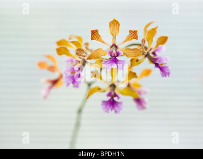 Encyclia orchid flowers against the white background of a window blind - Stock Photo