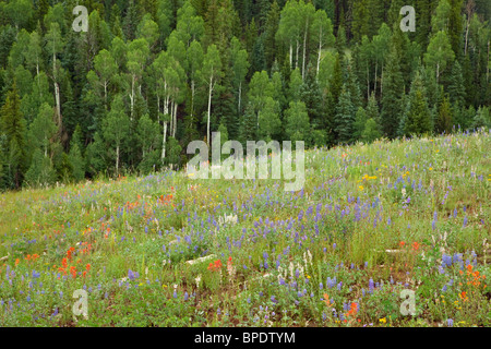 Wildflowers color meadow in 'The Basin' area of Kaibab Plateau, on North Rim of Grand Canyon National Park, Arizona - Stock Photo