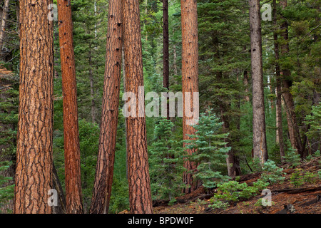Forest of mixed conifer trees, ponderosa pines, Douglas fir and spruce, North Rim of Grand Canyon National Park, - Stock Photo