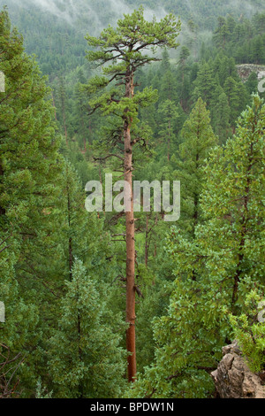 Tall old growth Ponderosa pine growing in, Coconino National Forest, Flagstaff, Arizona, USA - Stock Photo