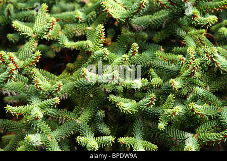 Fir-tree branches close-up - Stock Photo