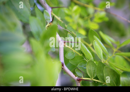 Jujube fruit stings Ziziphus jujuba vulgaris - Stock Photo