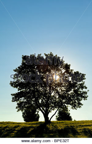 Solitary deciduous tree in early morning - Stock Photo