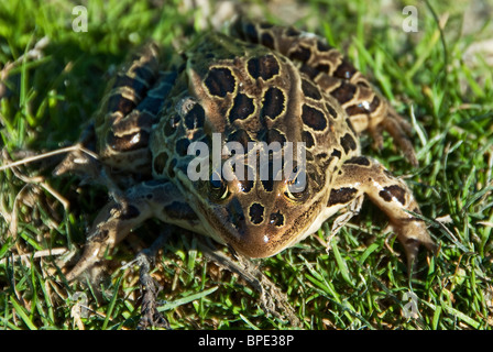 Northern Leopard Frog Rana pipiens Quanicassee Wildlife Area Michigan USA - Stock Photo