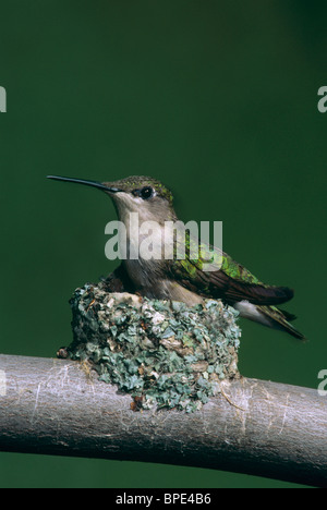 Ruby-throated Hummingbird female sitting on nest Archilochus colubris E USA - Stock Photo