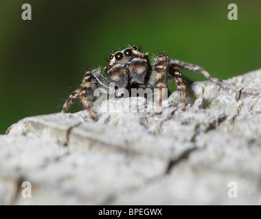 close up of fence Post Jumping Spider - Stock Photo