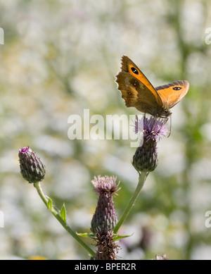 Gatekeeper Butterfly Pyronia tithonus feeding on flowers of Saw Wort Serratula tinctoria - Stock Photo