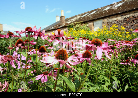 Echinacea purpurea also known as Rudbeckia purpurea -  Purple coneflower - Stock Photo
