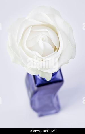 White single Rose in blue Vase - Stock Photo