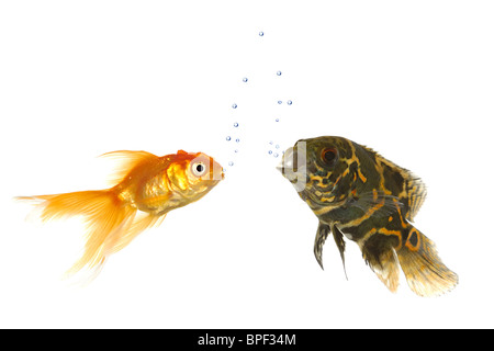 Goldfish and tiger oscar fish are comunicating with air bubbles under water. Isolated on a white background - Stock Photo
