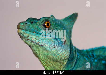 Green Basilisk (Basillicus plumifrons) - Stock Photo