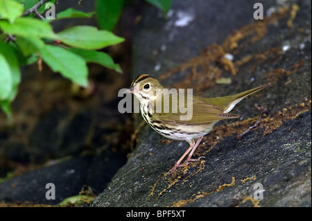 Ovenbird Perched on a Rock - Stock Photo