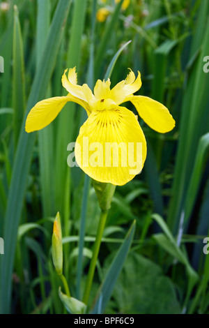 Yellow Flag Iris (Iris Pseudacorus) growing near water. - Stock Photo